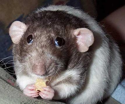 обыкновенная форумная крыса